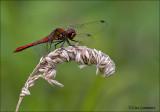 Ruddy Darter - Bloedrode heidelibel - Sympetrum sanguineum