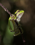 European Tree Frog - Boomkikker - Hyla arborea