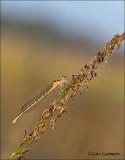 Small Bluetail - Tengere grasjuffer - Ischnura pumilio