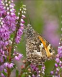 Grayling - Heivlinder - Hipparchia semele