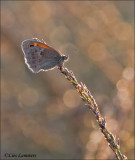 Small Heath - Hooibeestje - Coenonympha pamphilus
