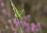 Sickle-bearing bush-cricket - Sikkelsprinkhaan - Phaneroptera falcata