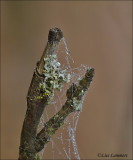 Dewdrops - Dauwdruppels