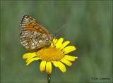 Health Fritillary - Bosparelmoervlinder - Melitaea athalia