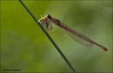 Small Red Damselfly - Koraaljuffer - Ceriagrion tenellum
