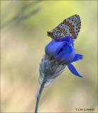 Spotted fritillary - Tweekleurige parelmoervlinder - Melitaea didyma