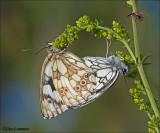 Marbled White - Dambordje - Melnargia galathea