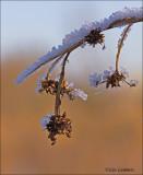 Great Fen-sedge - Galigaan - Cladium mariscus