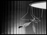 mosco-patón