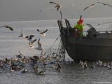 Arrenque (herring)