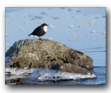 cincle plongeur- white-throated dipper