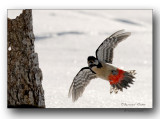 pic epeiche à l'atterrissage-landing of the great spotted woodpecker