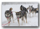 chiens de traineau- sled dogs