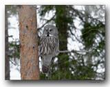 chouette lapone. great gray owl. Oiseau rare (300 individus environ en Finlande)