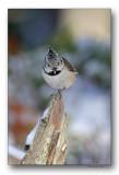 mésange huppée-crested tit