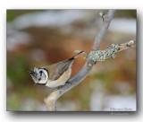 mésange huppée - crested tit