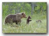 Family scenes in bears- Scènes familiales chez les ours en laponie...