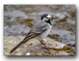 Bergeronnette avec insectes. wagtail with insects.