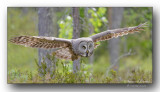Chouette-lapone en vol. Great gray owl in flight