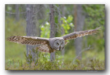 Great gray owl - Chouette lapone