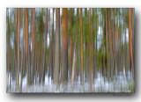 forêt_lapone- Lapp forest