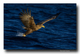 Sea eagles, musk oxen, sea gulls and reindeers in Norway. Aigles pygargues, bœufs musqués goélands et rennes en Norvège