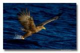 Aigles pygargues- Sea eagles