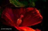 Huge Hibiscus