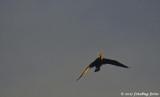 Cormorant in the Spotlight
