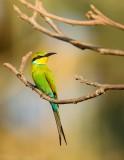 Zwaluwstaartbijeneter - Merops hirundineus  - Swallow-tailed Bee-eater
