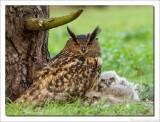 Oehoe - Eurasian Eagle-Owl