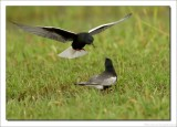 Witvleugelstern    -    White-winged Tern