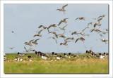 Tureluur    -    Redshank