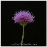 Texas Wildflowers and Colorado Wildflower Portraits