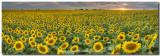 Sunflower Field Panorama - Texas Wildflower Images