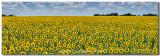 Texas Wildflower Panorama - Sunflower Afternoon