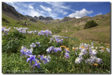 Colorado Wildflower Images - American Basin Columbine 1