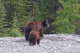 The Bears of Banff & Jasper National Parks
