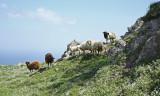Sheep Sigri.jpg