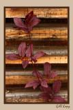Fall vine.jpg