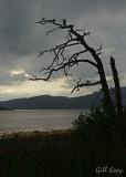 Loch Nevis tree.jpg