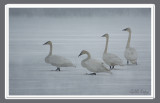 Misty swans.jpg