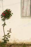 Lonely Rose.jpg