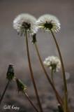 DandelionSeed.jpg