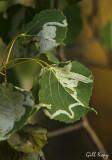 Aspen leaf miner