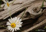 Daisies  driftwood.jpg