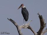 Marabou Stork2.jpg