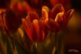 Evening tulips.jpg
