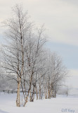 Winter birches.jpg