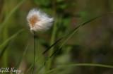 Bog cotton.jpg